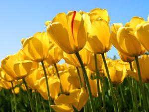 春の花畑にたくさん咲いている